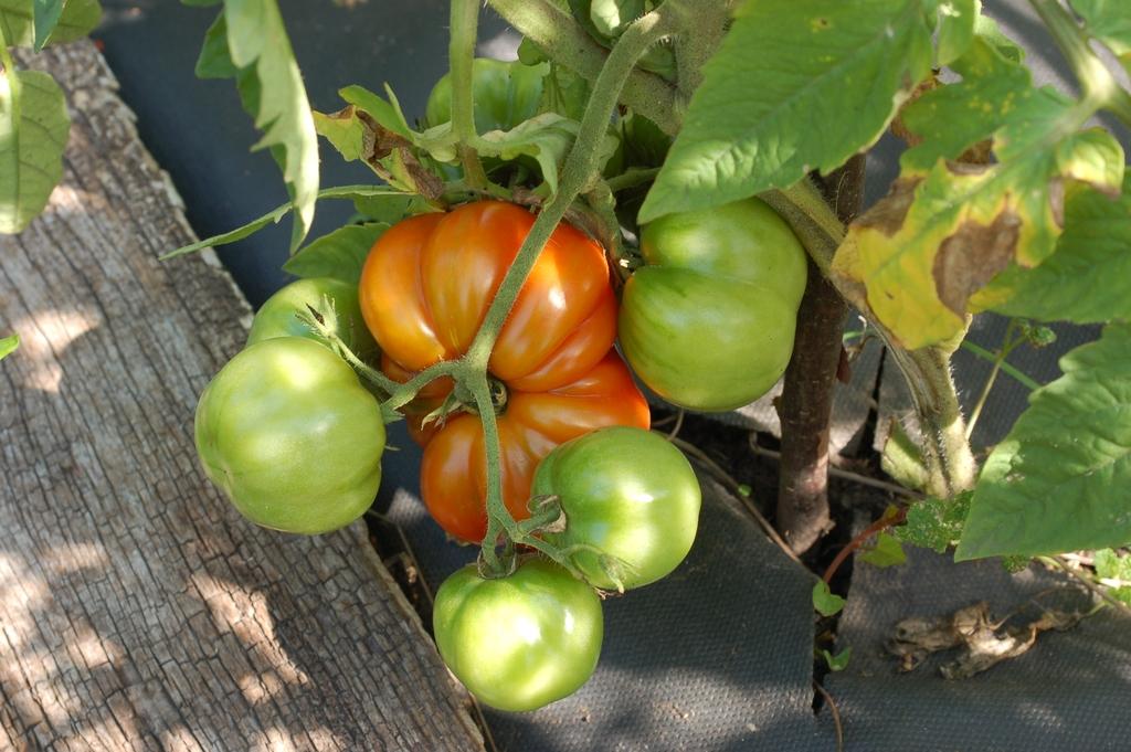 Свой первый помидор.